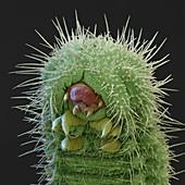 Polyommatus sp. L 70x - Raupe des Bläulings, 70:1