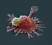 Cancer immunotherapy, SEM