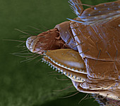 Drosophila suzukii Legeapp 250x - Legeapparat der Kirschessigfliege, 250:1