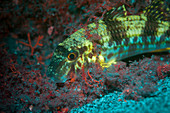 Fluorescent striped red mullet