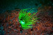 Tube-dwelling anemone fluorescing underwater