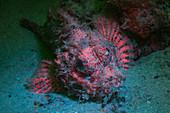 Fluorescent scorpionfish
