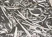 Trochite limestone and fossils, light micrograph