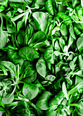 Mache lettuce macro shot (field or lamb s lettuce)