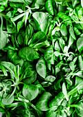 Feldsalat (bildfüllend)