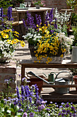 Sommer-Terrasse mit Mehlsalbei, Elfenspiegel und Kapkörbchen