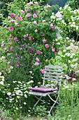 Englische Duftrose 'Gertrude Jekyll' und Blumenhartriegel