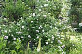 Historische Rose Félicité Parmentier