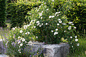Parkrose 'Semiplena' syn. 'White Rose of York' , historische Rose