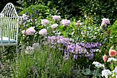 Edelrose 'La Nina', Phlox und Lavendel zusammen im Beet