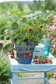 Erdbeere mit Früchten im blauen Topf