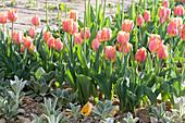 Tulpen 'Apricot Beauty' und Wollziest im Beet