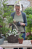 Frau bepflanzt Korb mit Schneeflockenblume 'Big White'