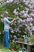 Frau schneidet Zweige von Flieder 'Michel Buchner' im Garten