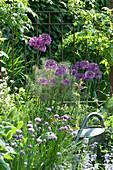 Blühender Zierlauch 'Globemaster' am Gartenzaun