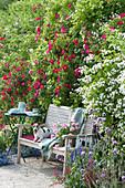 Holzbank zwischen Rosen 'Scharlachglut' und Multiflora-Rose