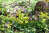 Frühlingsbeet mit Schlüsselblumen und Schachbrettblume