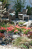 Frühlingsbeet mit Tulpen  'Czaar Peter'