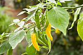 Gelbe Chilischoten an der Pflanze