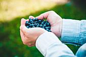 Hände halten frisch geerntete Heidelbeeren