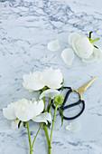 weiße Pfingstrosen mit Rosenschere auf Marmoruntergrund