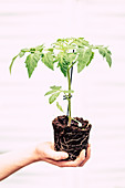 Hand hält Tomatenpflanze mit Wurzelballen
