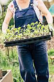Frau trägt Jungpflanzen in Topfpalette mit Kohlrabi und Rote Bete