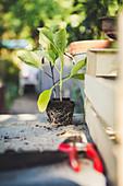 Auberginen-Jungpflanze mit Wurzelballen