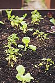 Junge Tagetes- und Butterkohlpflanzen in Hochbeet (Mischkultur)