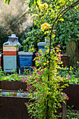 Ramblerrose am Rosenbogen, im Hintergrund Imker am Bienenstand
