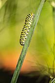 Schwalbenschwanzraupe (Papilio machaon) an einem Stängel