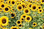 Beet mit Sonnenblumen