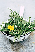 An old enamel colander with dandelions
