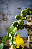 Green walnuts on a broken twig