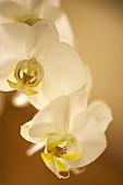 Orchid (Phalaenopsis rothschildiana)