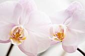Moth Orchid (Phalaenopsis sp.)