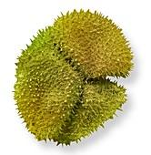 Sundew pollen, SEM