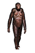Australopithecine Lucy, illustration