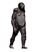 Paranthropus robustus, illustration