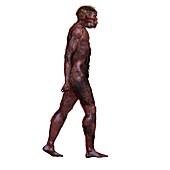 Homo ergaster, illustration