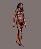Homo georgicus, illustration