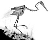 Heron, X-ray