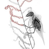 Greenfinch perched on a plant, X-ray