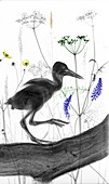 Oystercatcher chick, X-ray