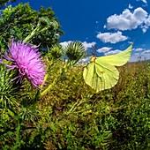Brimstone butterfly, high-speed fish-eye lens image