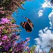 Red Admiral butterfly, high-speed fish-eye lens image