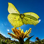 Brimstone butterfly, high-speed fish-eye lens image