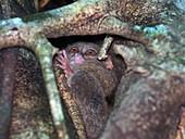 Spectral tarsier in a tree