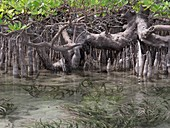 Mangroves, Indonesia