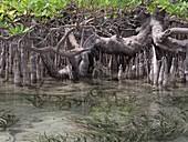 Mangroves, Indonesia
